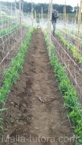 cultivo de tomate entutorado con malla para soporte, a doble malla