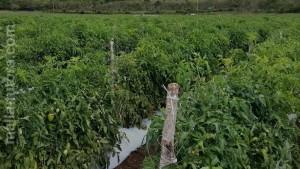 tutorado para tomates