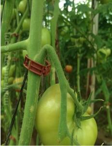 El peso del fruto ahorca el pedúnculo