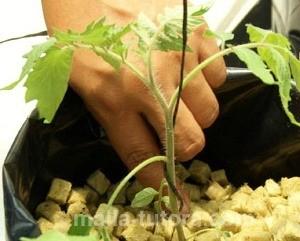 Rafia en cultivos